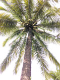 Coconuts  trees. Coconut  trees on sky background Royalty Free Stock Photos
