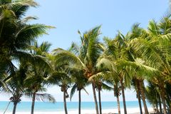 Coconuts in the trees with ocean as background Royalty Free Stock Image