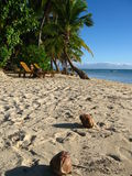 Coconuts on the tropical beach. Fiji Stock Photos