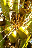 Coconuts. Tropical green coconuts on a palm tree Stock Photo