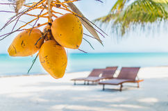 Coconuts on palm tree against tropical sand beach. Tropical coconuts hanging on a palm tree close-up with lounges it the background at idyllical exotic white Stock Images