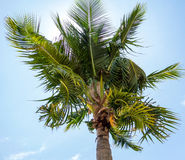 Coconuts and twist leaves Royalty Free Stock Photos