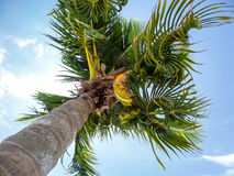 Coconuts and twist leaves Stock Photography