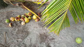 Coconuts under a palmtree Royalty Free Stock Photo