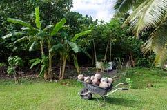 Coconuts in wheelbarrow Stock Images