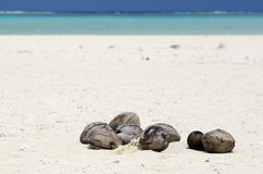 Coconuts on white sand. On tropical island in Aitutaki lagoon Cook Islands Stock Image