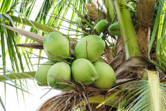 Coconuts. Young and fresh Coconuts on tree Stock Image