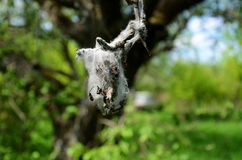 The cocoon. On the branch end Royalty Free Stock Photography
