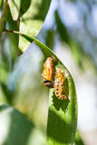 Cocoon and the empty chrysalis of butterfly Royalty Free Stock Image