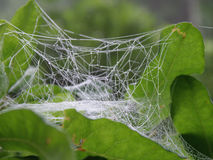 Cocoon with Rain Drops. Caught in the web Royalty Free Stock Photography