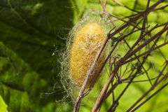 Cocoon of a silk  butterfly Royalty Free Stock Photography