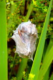 Cocoon spider nest Stock Image