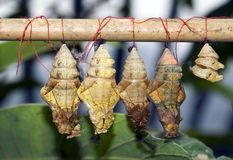 Cocoons. (simulated grown up butterflies in reserve Royalty Free Stock Photography
