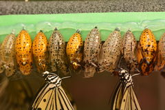 Cocoons line up waiting for them to emerge. Royalty Free Stock Photography