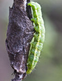 Cocoons parasite and pest pear weevils. Stock Photography