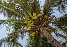 Cocopalm with coconuts Royalty Free Stock Photo