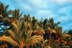 CocoPalmen und bew?lkter Himmel im Sonnenunterganglicht Tropisches Landschaftsfoto in der goldenen Stunde Gr?ne Palmbl?tter auf b lizenzfreies stockfoto