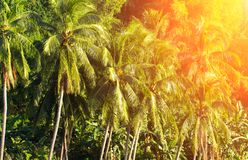 Cocopalmträdlandskap med solsignalljuset Djungel för kokosnötpalmträdskog Royaltyfria Bilder