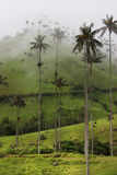 Cocora Valley. The famous wax palm trees of Cocora Valley on a misty day in Colombia Stock Images