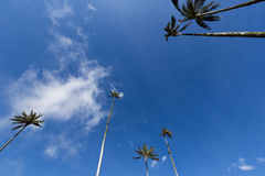 Cocora valley with giant wax palms  near Salento, Colombia Royalty Free Stock Image