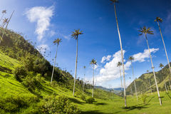 Cocora valley with giant wax palms  near Salento, Colombia. Cocora valley near Salento with enchanting landscape of pines and eucalyptus towered over by the Royalty Free Stock Photo