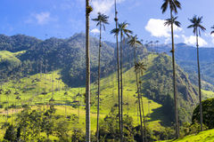 Cocora valley with giant wax palms near Salento, Colombia. Cocora valley near Salento with enchanting landscape of pines and eucalyptus towered over by the royalty free stock images