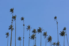 Cocora valley with giant wax palms  near Salento, Colombia Stock Images