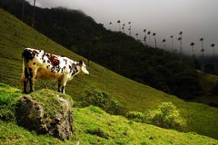 Cow in Cocora valley, Cordiliera Central, Salento, Colombia. The Cocora valley - Valle de Cocora in spanish - is a valley in the department of Quindío in the stock image