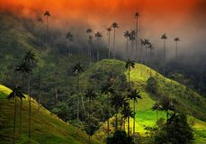 The wax palm trees from Cocora Valley are the national tree, the symbol of Colombia and the World's largest palm. The Cocora valley - Valle de Cocora in stock photography