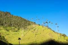 Cocora Valley View. Wax palm trees on a hill in the Cocora Valley near Salento, Colombia stock photography