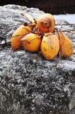 Cocos Fotos de Stock Royalty Free