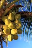 Cocos Fotografía de archivo