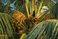 cocos Fotografia de Stock Royalty Free