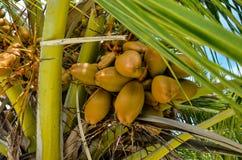 cocos Imagen de archivo