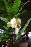 Cocos da magnólia Imagens de Stock Royalty Free