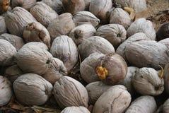 Cocos de Belice imagenes de archivo