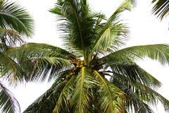 Cocos del rey Foto de archivo