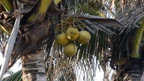 Cocos em uma luz da palmeira que move-se levemente pelo vento da brisa do oceano filme