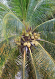 Cocos em uma palmeira Fotos de Stock