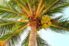 Cocos em uma palmeira em uma manhã tropical adiantada Foto de Stock Royalty Free