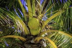 Cocos en árbol Imágenes de archivo libres de regalías