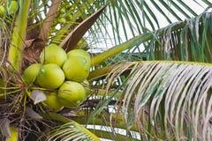 Cocos en árbol Imagen de archivo