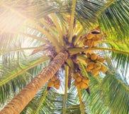 Cocos en árbol de coco Imagenes de archivo