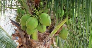 Cocos en detalle de la palmera