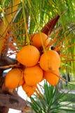 Cocos en fruta amarilla madura de la palmera Imagen de archivo libre de regalías