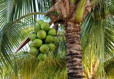 Cocos en la palmera Fotografía de archivo libre de regalías