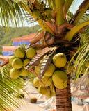 Cocos en un centro turístico en México Imágenes de archivo libres de regalías