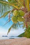 Cocos en una palma Fotos de archivo