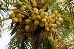 Cocos en una palma de coco Fotos de archivo