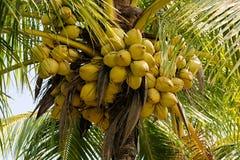 Cocos en una palma de coco Fotos de archivo libres de regalías